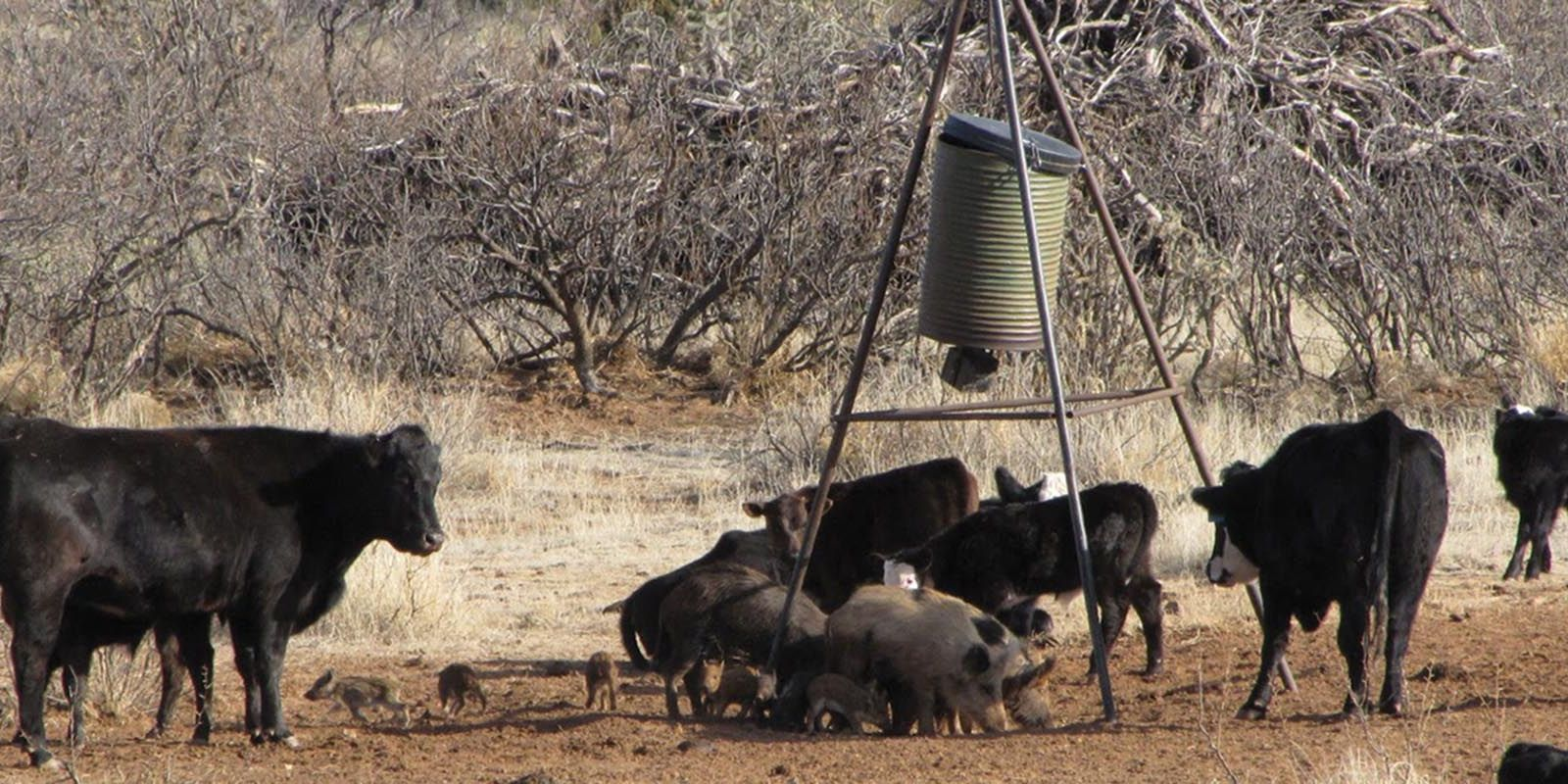 Texas Feral Hog Hunting