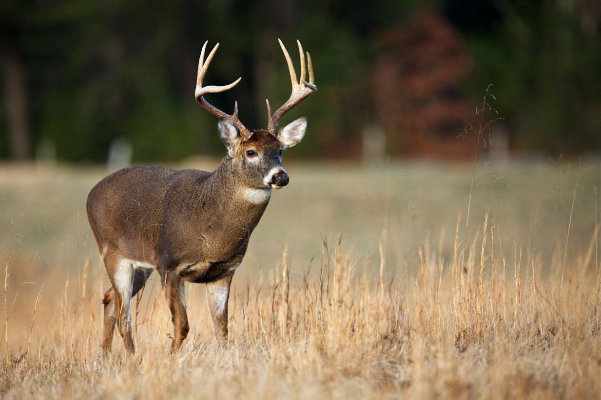 Properly Aging a Whitetail Buck on the Hoof